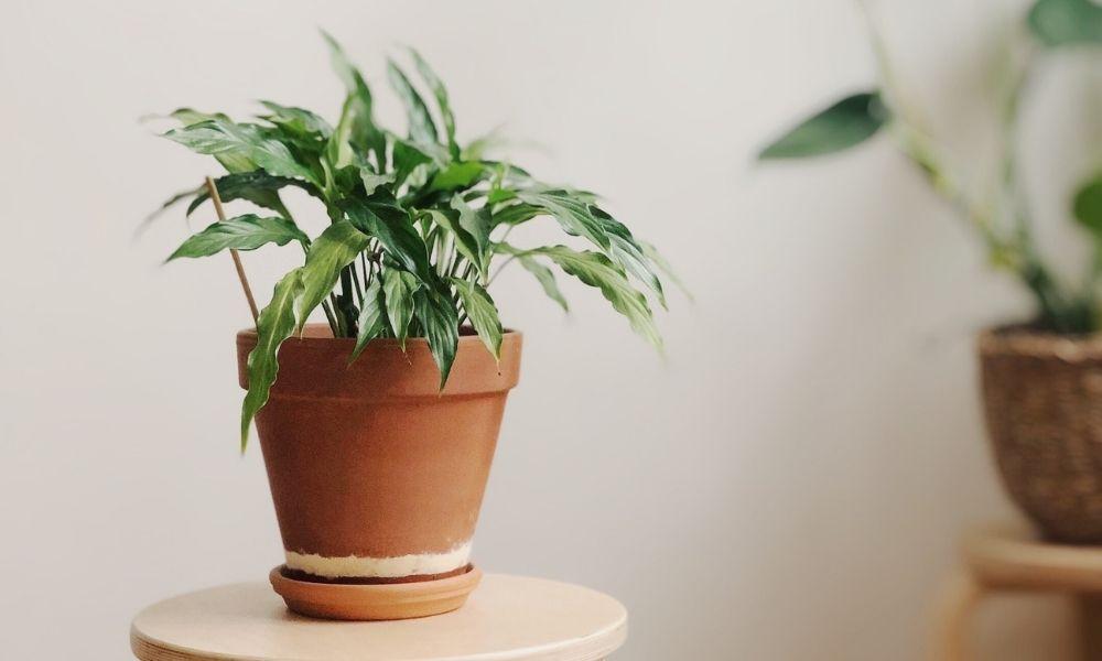 rouwvliegjes kamerplanten bestrijden